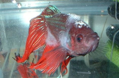 When is it time to say goodbye dealing with euthanasia for Betta fish ick